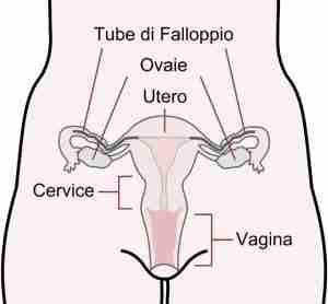 apparato riproduttivo femminile - ginecologo online
